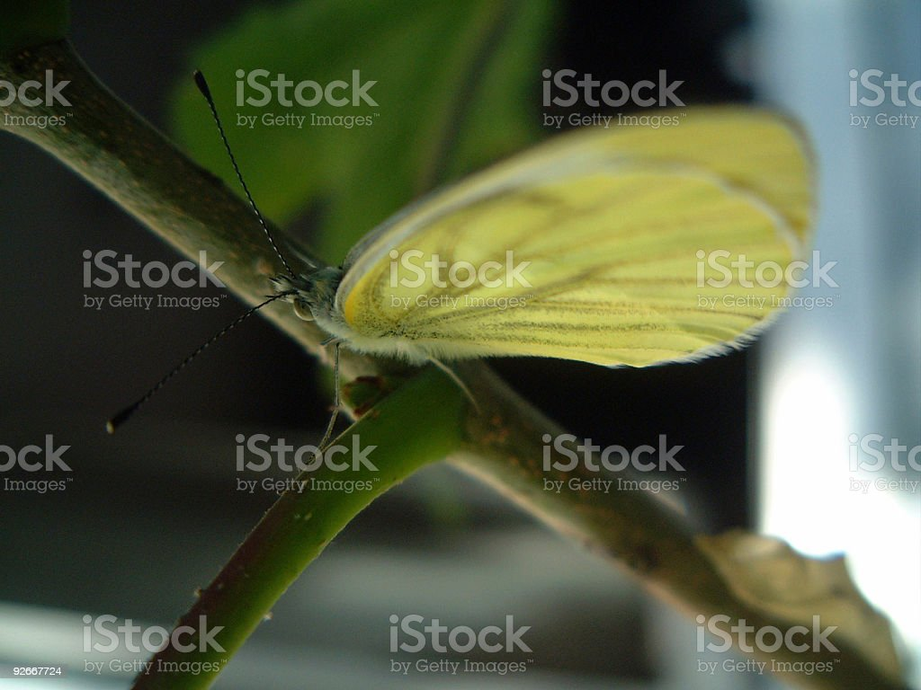Butterfly with Pupalcase royalty-free stock photo