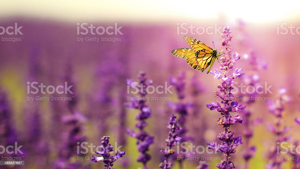 Butterfly with Salvia flowers stock photo