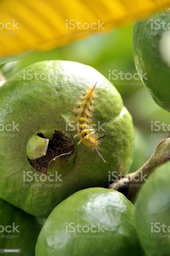 Butterfly Worm on Guava stock photo