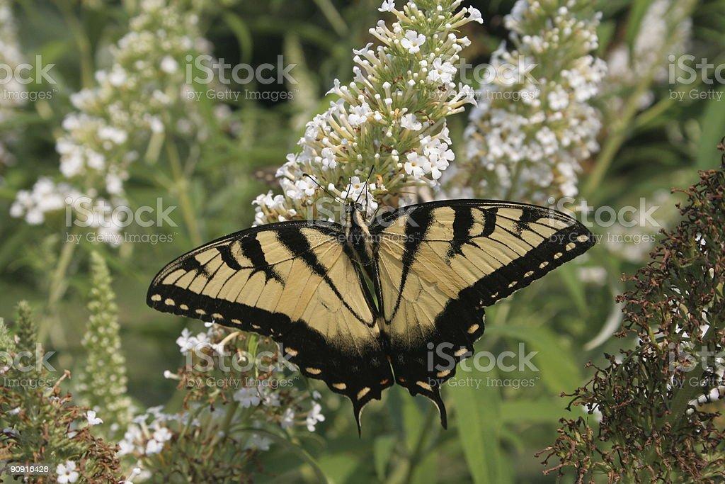 butterfly - yellow swallowtail on butterfly-bush stock photo