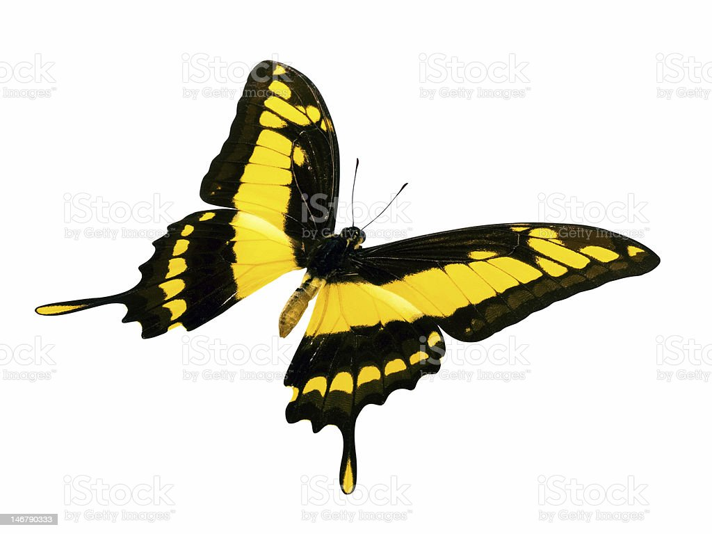 butterfly yellow-black stock photo