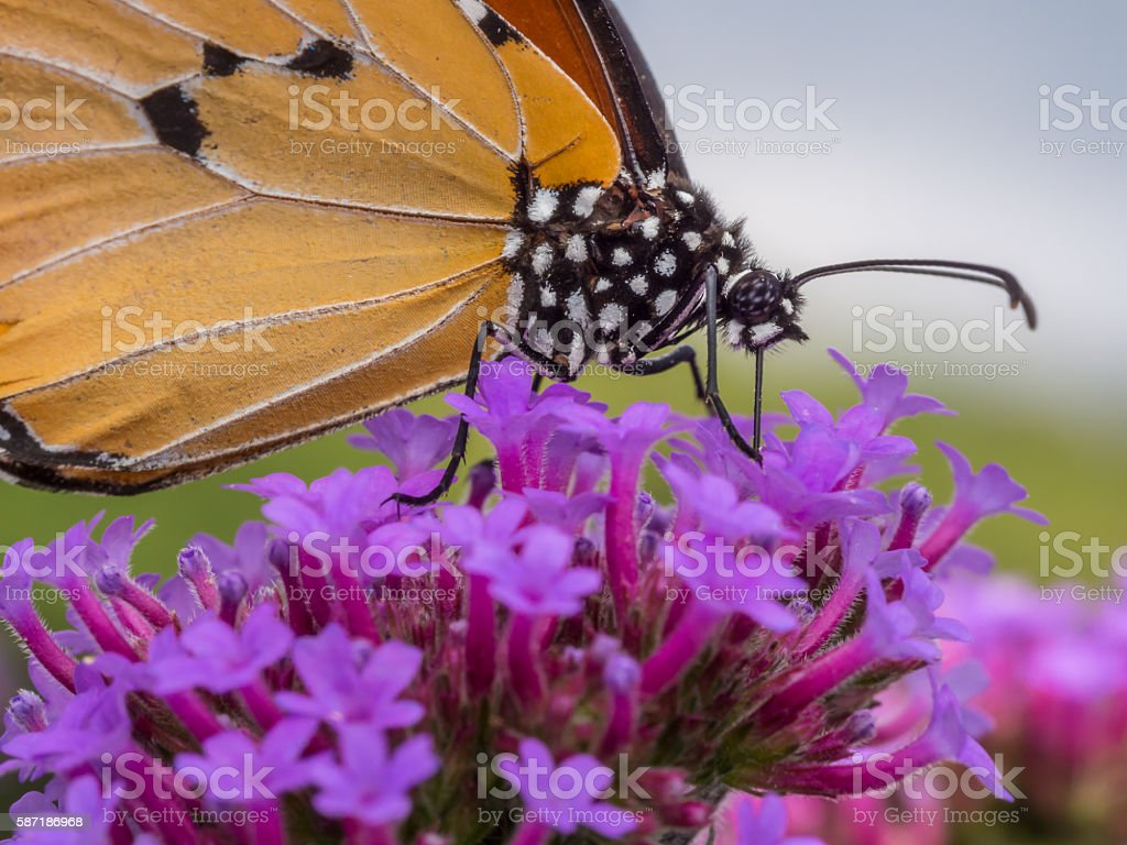 butterfly-1 stock photo