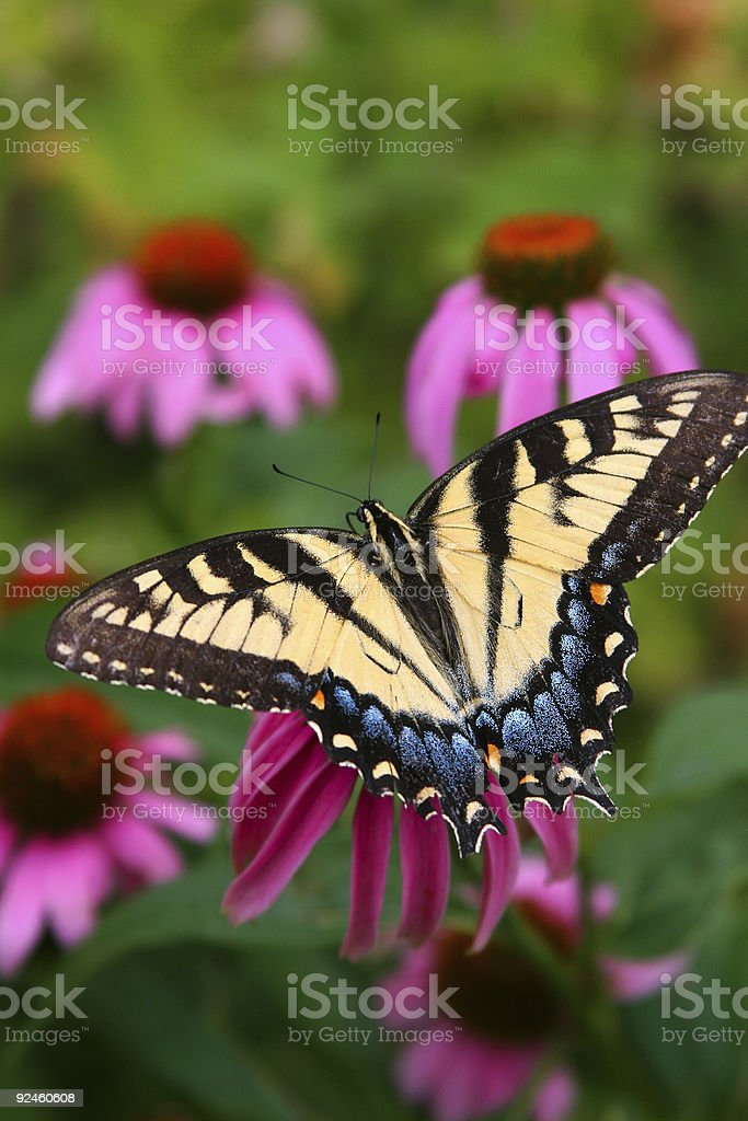 butterfly2 royalty-free stock photo