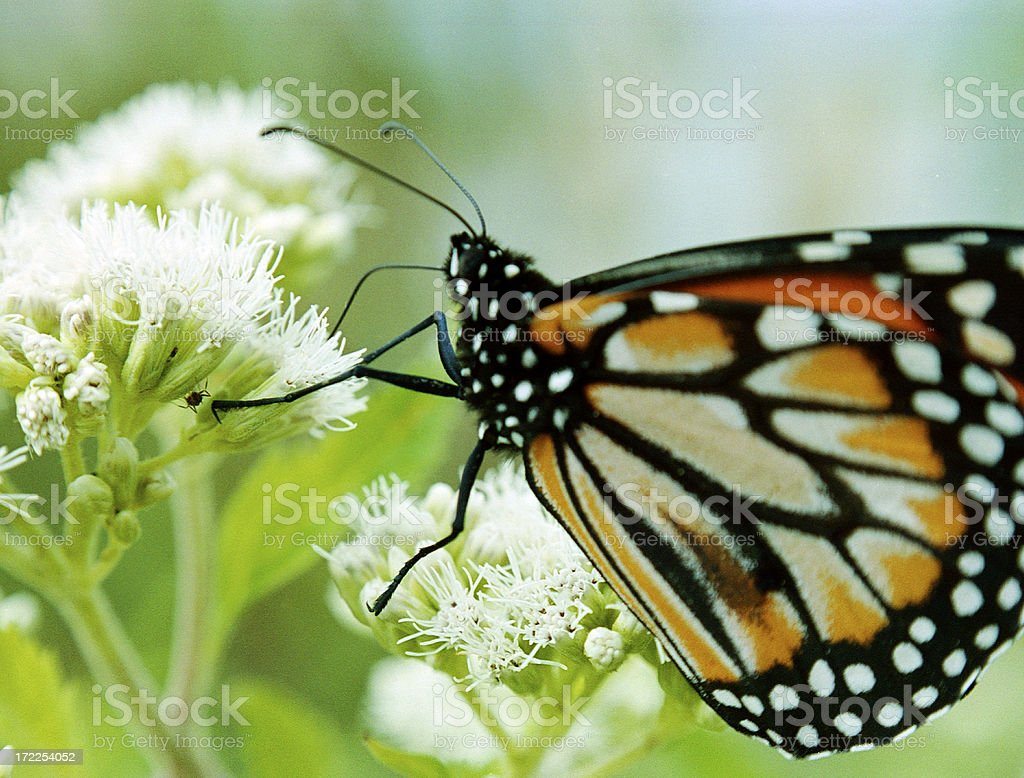 Butterfly_4 royalty-free stock photo
