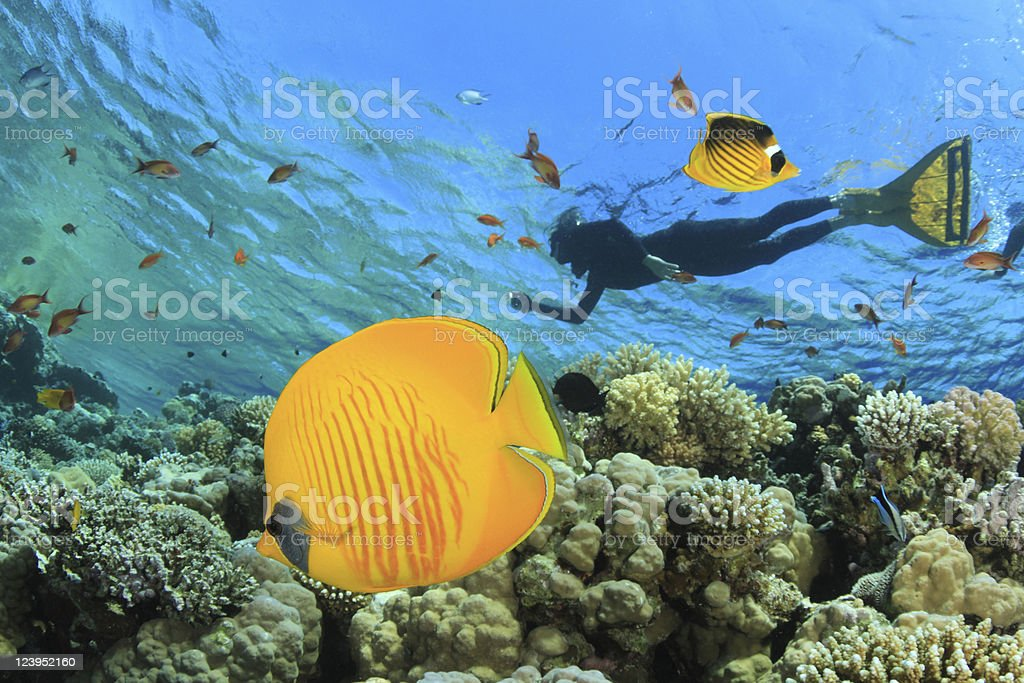 Butterflyfish and Snorkeler stock photo