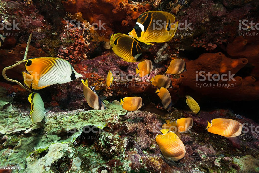 Butterflyfish Ballet, Five Different Butterflyfish Species, Komodo National Park, Indonesia stock photo