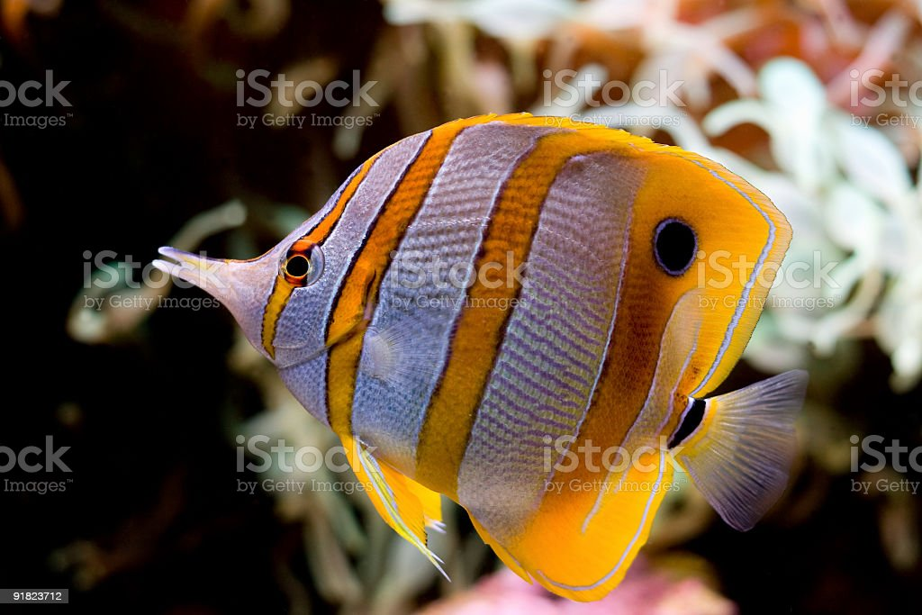 Butterflyfish stock photo