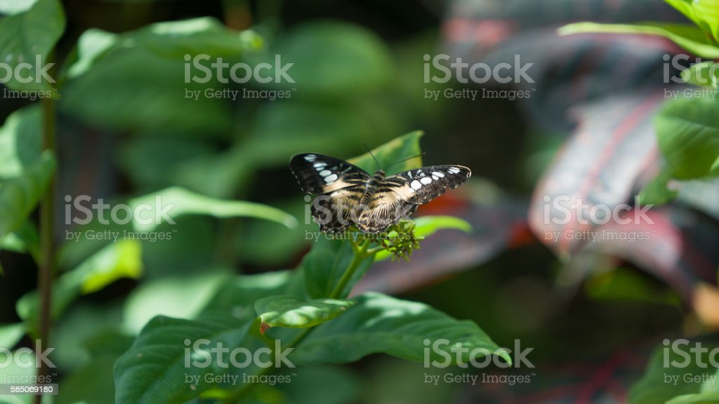 butterfly-Hypolimnas bolina on leaf stock photo