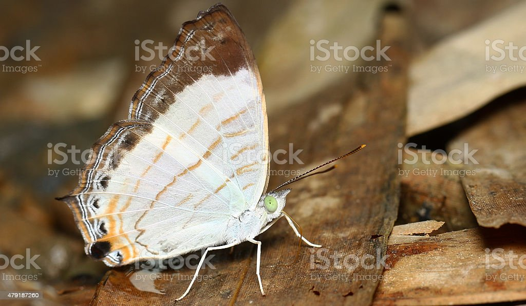 Butterfly-Little Map stock photo