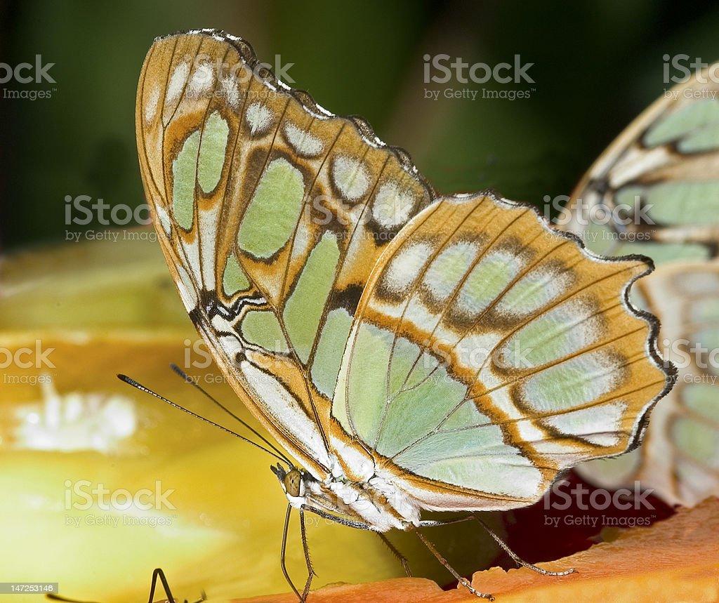 Butterfly-Malachite (siproeta stelenes) royalty-free stock photo