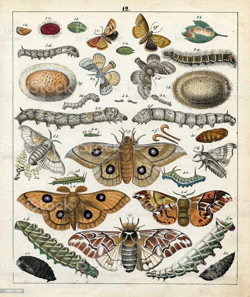 butterflys, scientific illustration, lithograph, 1842 stock photo