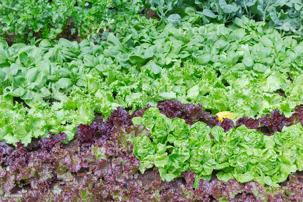 Butterhead Lettuce growed organic vegetables for health and the stock photo