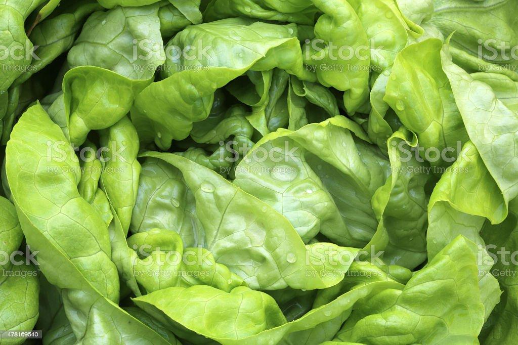 Butterhead Lettuce stock photo
