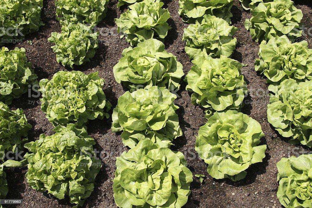 Butterhead Lettuce royalty-free stock photo