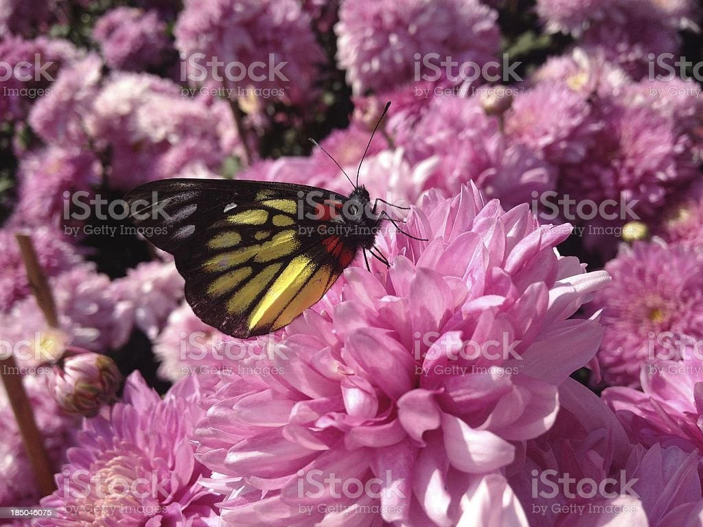 Butterly mongst Flowers stock photo