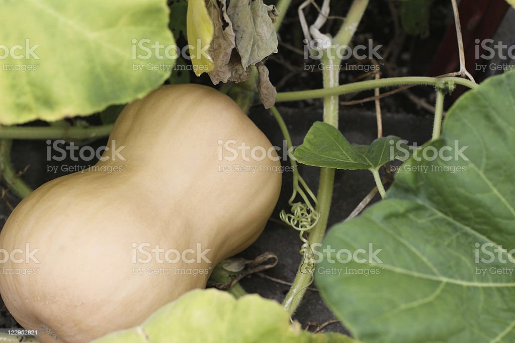 Butternut Squash On Vine stock photo