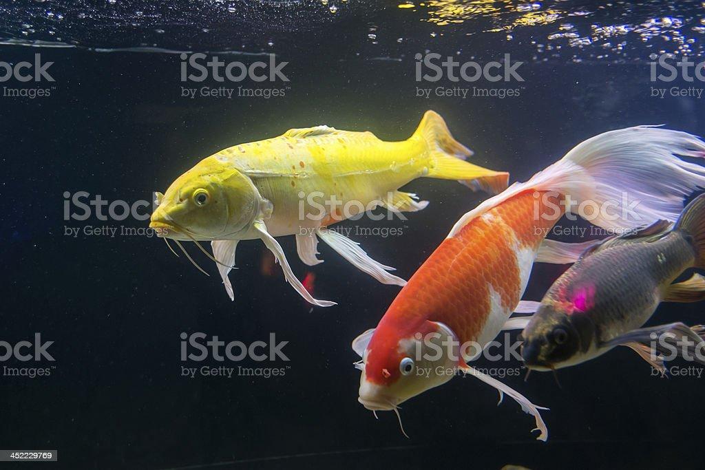 Buttery Koi or Cyprinus carpio fish in the Thai aquarium. stock photo