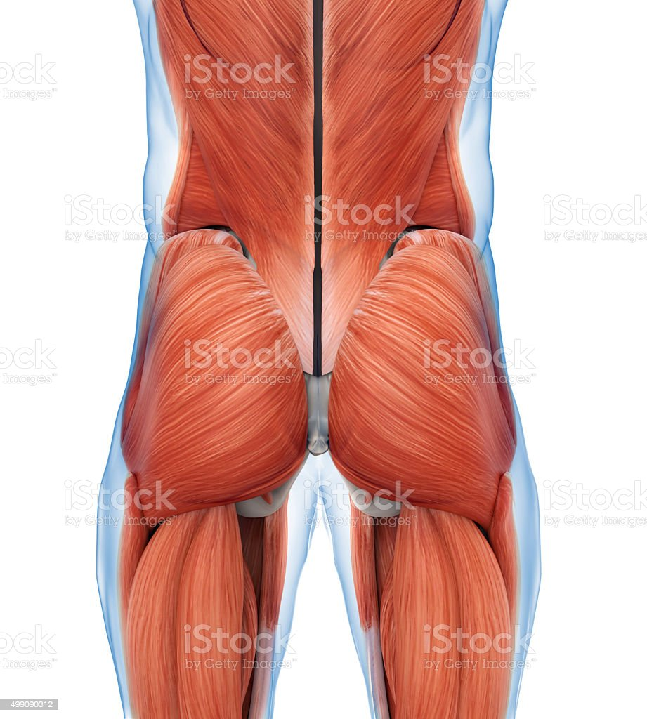 Buttock Muscles Anatomy stock photo