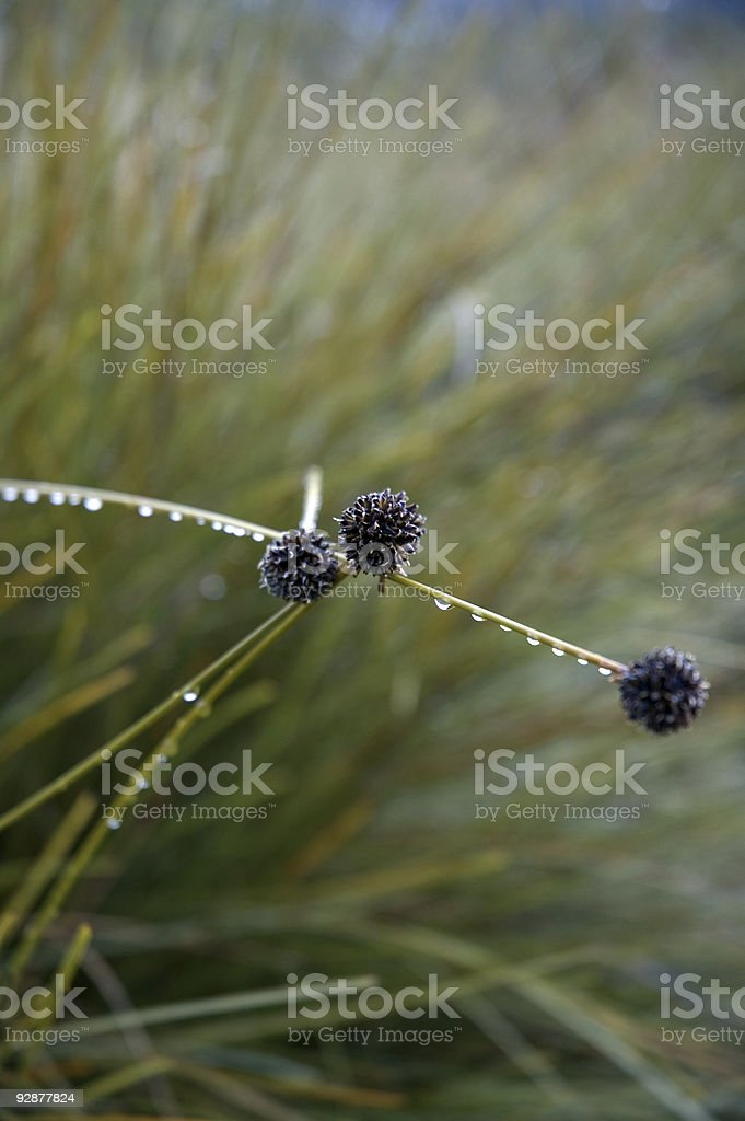 Button Grass, Dactyloctenium radulans stock photo