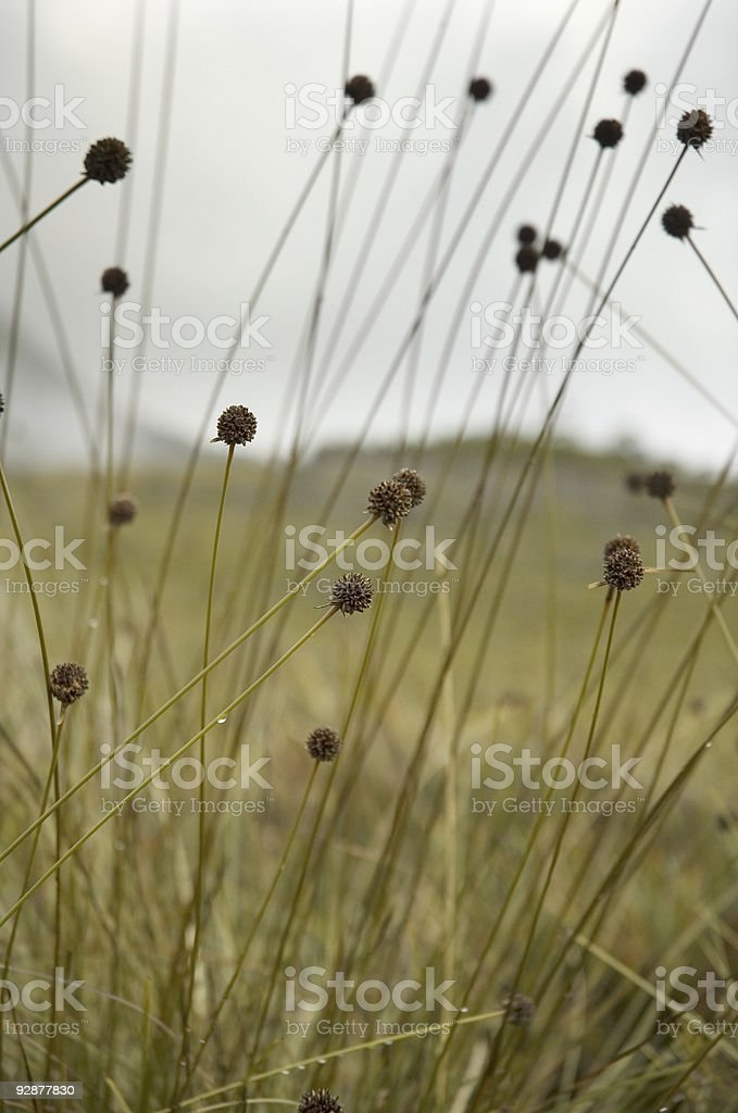 Button Grass Plain stock photo