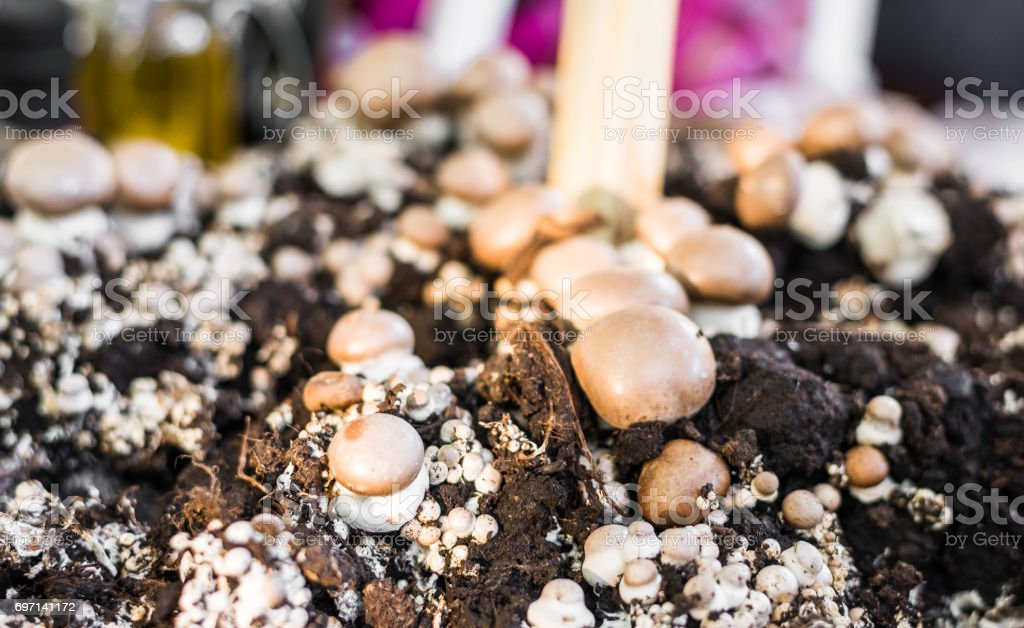 Button mushrooms growing from fungus mycelium at a street food market stock photo