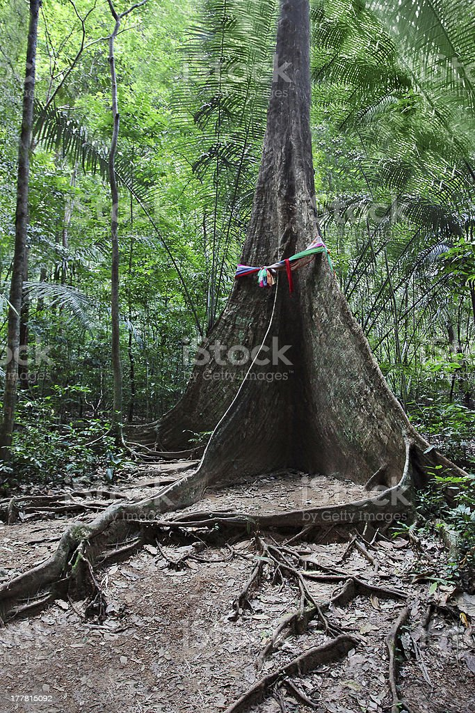 Buttress root tree royalty-free stock photo