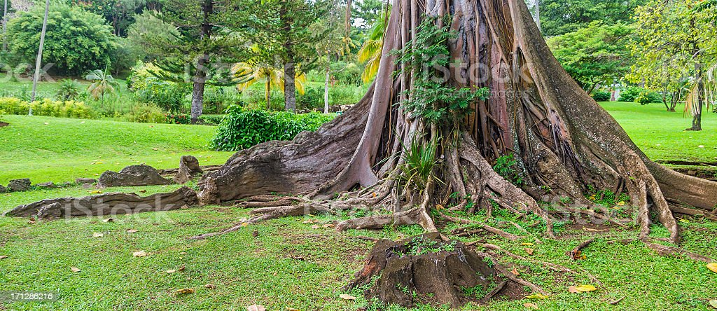 Buttress Roots stock photo