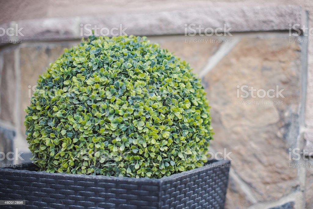 Buxus ball Garden planter detail stock photo