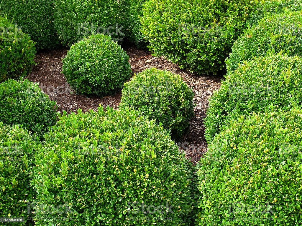 Buxus balls for sale royalty-free stock photo