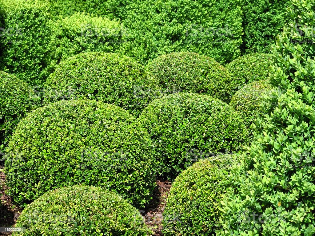 Buxus balls stock photo