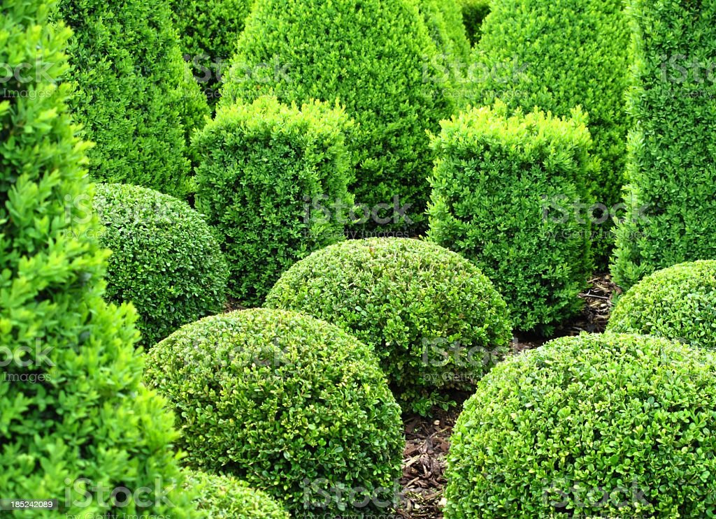 Buxus for sale stock photo