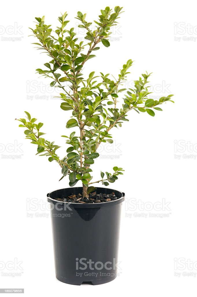 Buxus microphylla (Japanese Box) stock photo