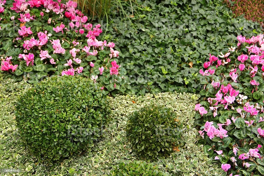 Buxus plants and pink cyclamen stock photo