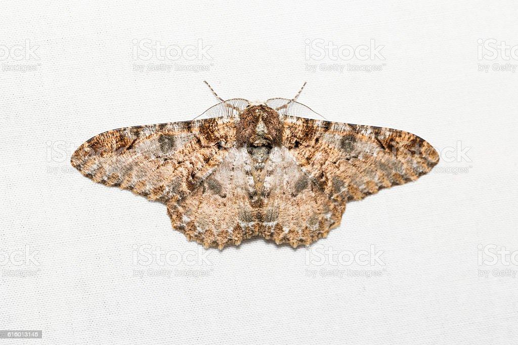 Buzura (America) recursaria moth stock photo