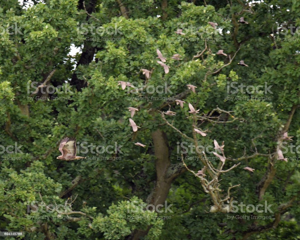Buzzard and Starlings stock photo