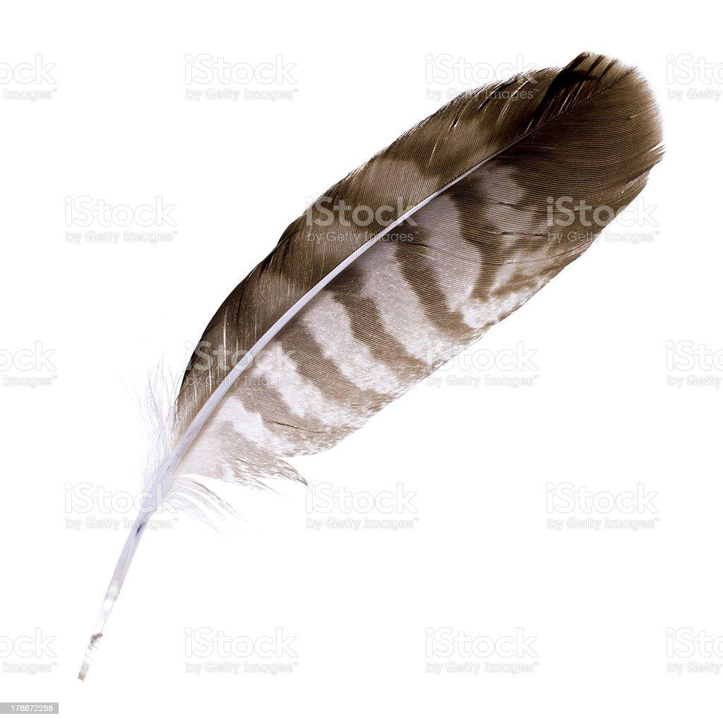 Buzzard feather stock photo