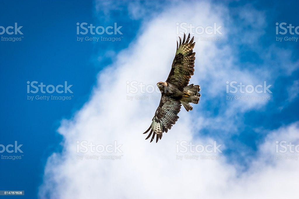 Buzzard in flight showing wingspan and underside stock photo
