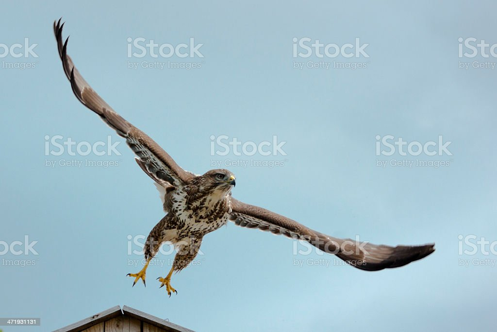 Buzzard just taking off with wings fully open stock photo