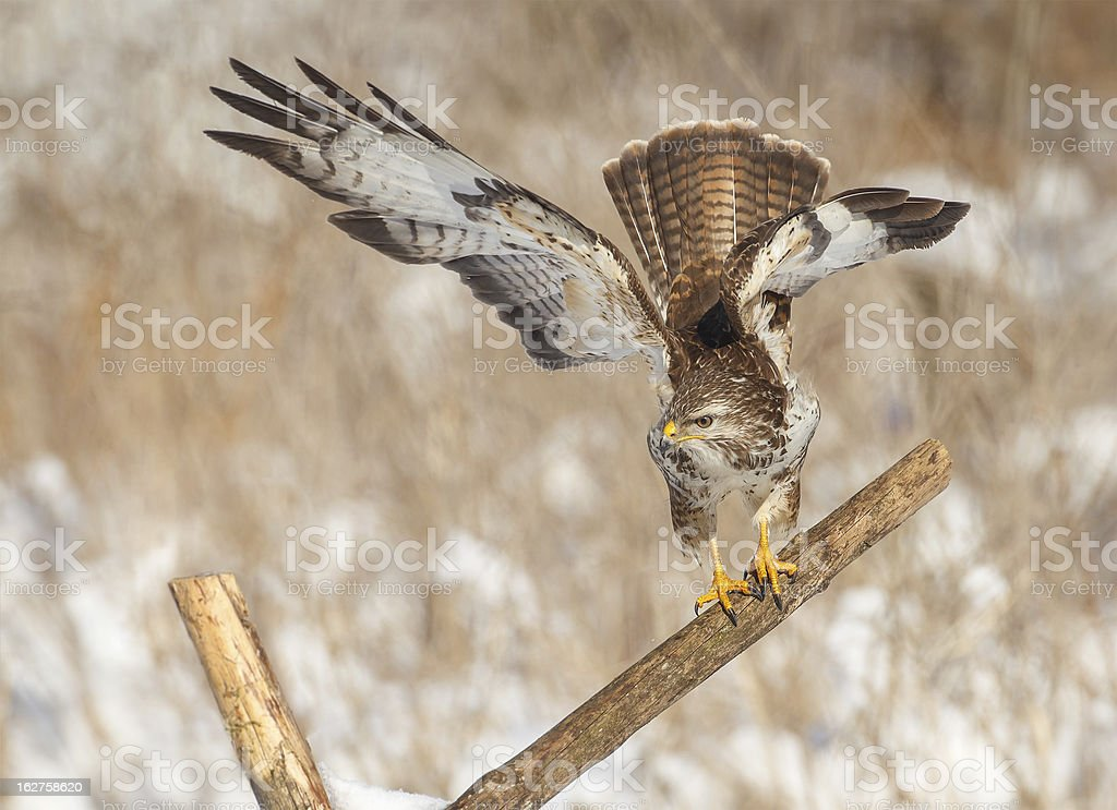 Buzzard on a post about to take off royalty-free stock photo