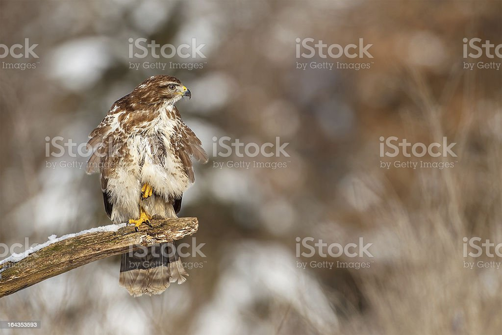 Buzzard on a rotten branch royalty-free stock photo