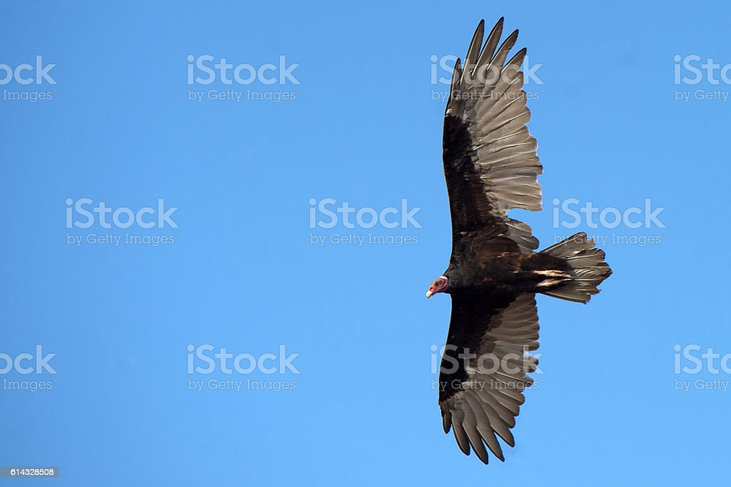 buzzard vulture flying in the deep blue sky stock photo