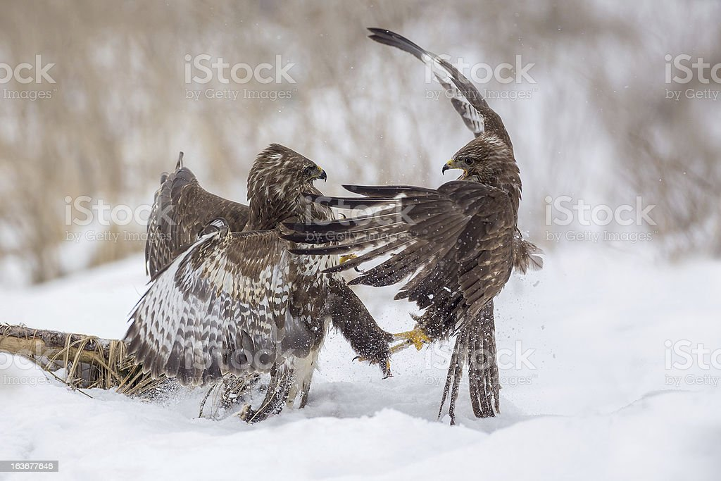Buzzards fighting for dominance royalty-free stock photo