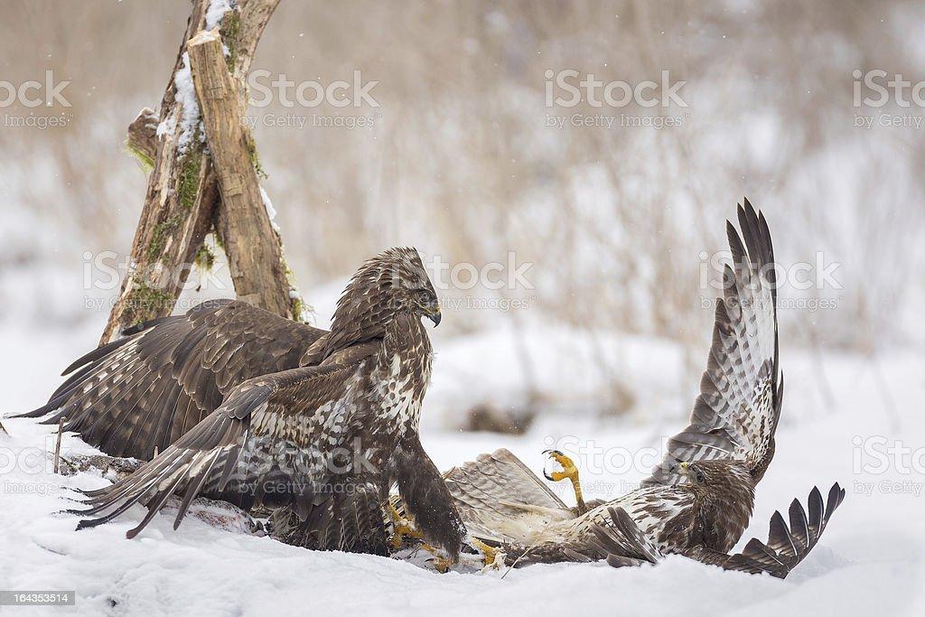 Buzzards fighting royalty-free stock photo