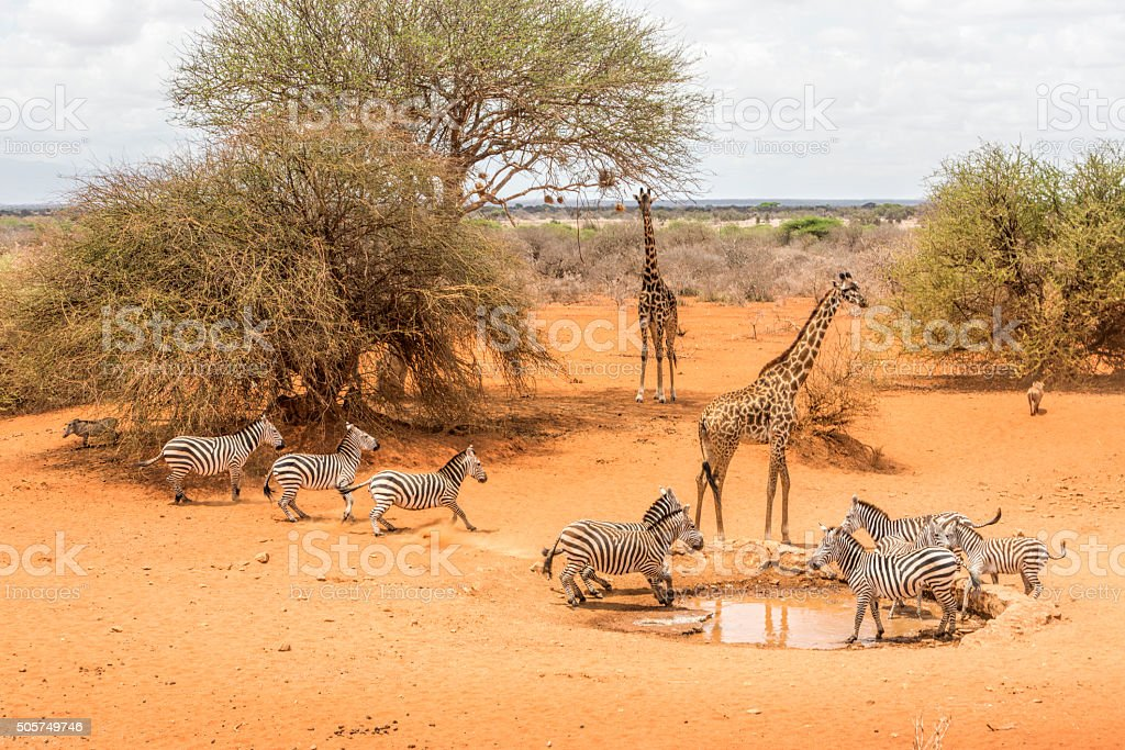 By the water hole. Zebras, giraffes and warthogs drinking, Kenya. stock photo