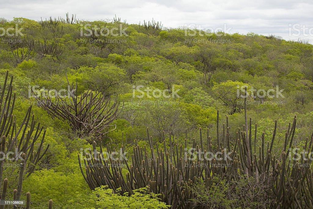 Caatinga vegetation at Brazil's Northeast region royalty-free stock photo