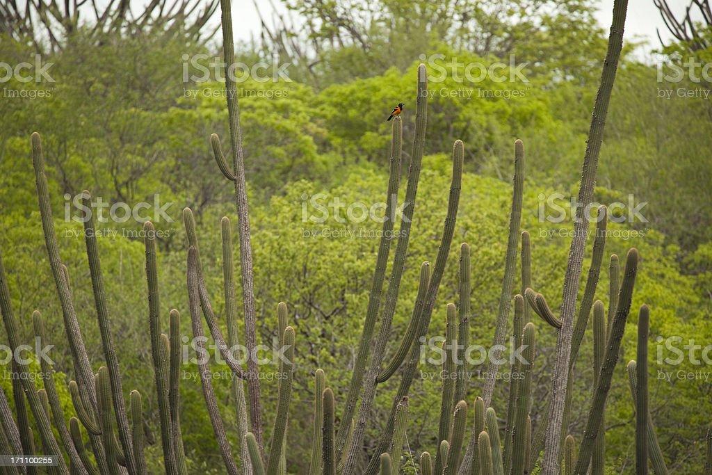 Caatinga Vegetation in Brazil royalty-free stock photo