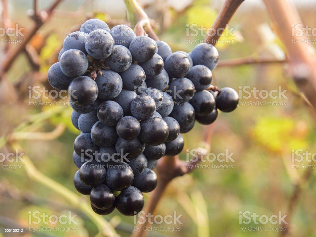Cabarnet Grapes In Vinyard stock photo
