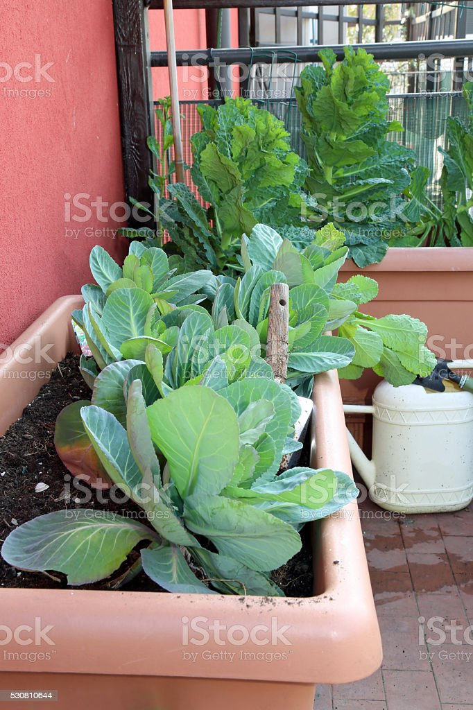 cabbage and leaves in vases of an urban garden stock photo