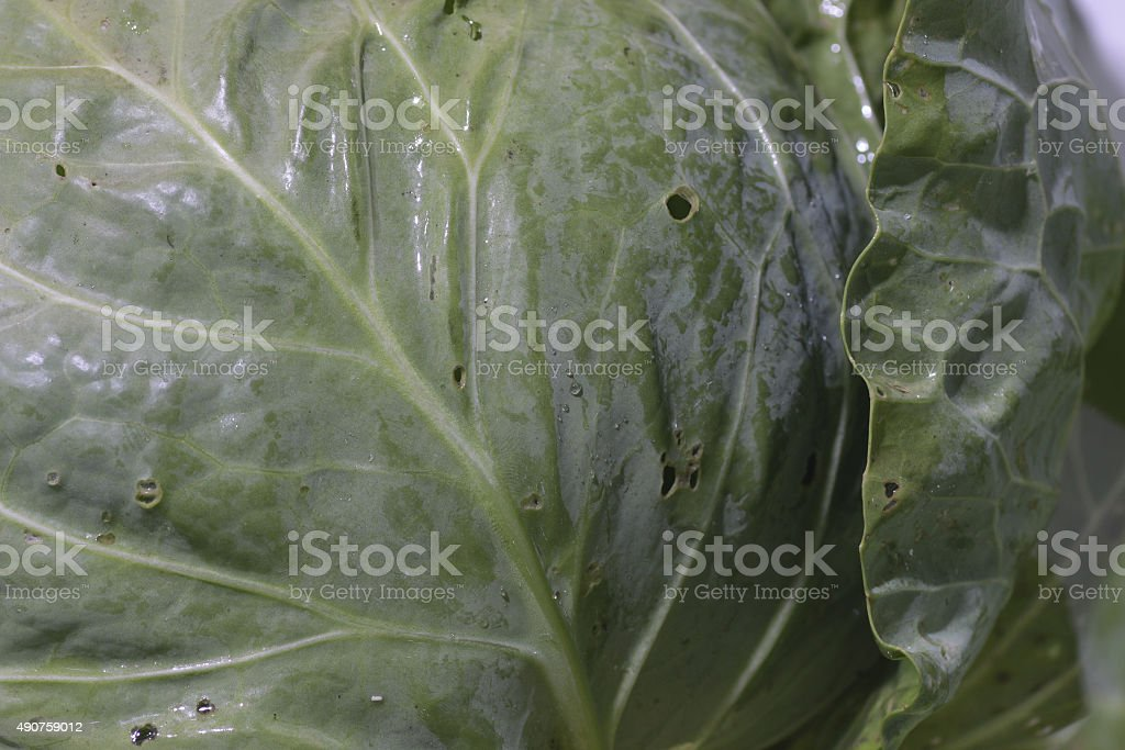 cabbage bad stock photo