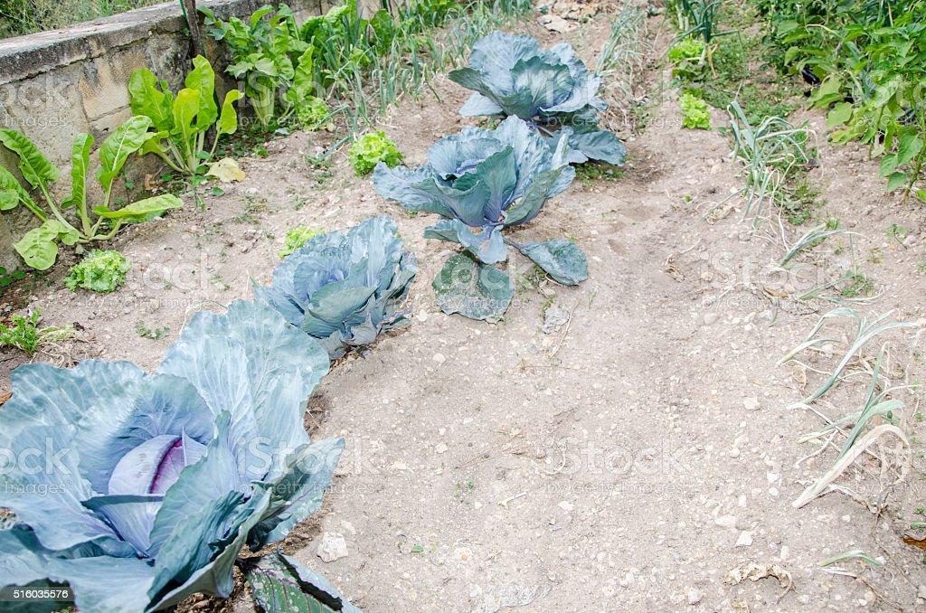 cabbage, Brassica Oleracea is growing an organic vegetable garde stock photo